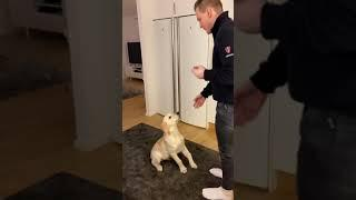 Dog Eats Food in 0.5 seconds - Golden Retriever Dima
